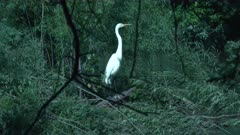 Great White Egret Wiggles In Wetland