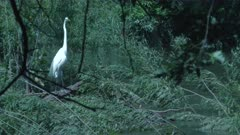 Great White Egret Stands Stately In Wetland