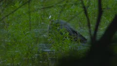 Great Blue Heron Bathes In Wetlands