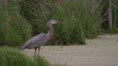 Great Blue Heron Wades Through Wetlands On Breezy Day