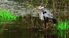 Great Blue Heron Observes Wetlands Environment