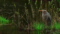 Great Blue Heron Observes Wetlands