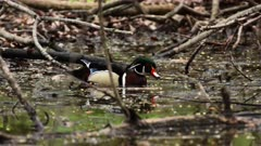Male Wood Duck Swims In Wetlands