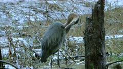 Great Blue Heron Grooms In Wetland