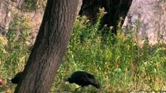 Wild Turkeys In Park Reserve