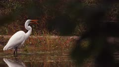 Great White Egret Hunts In Pond