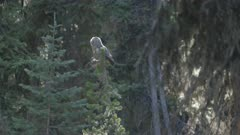Great Gray Owl flies back and out of frame
