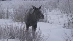 Cow moose feeds on buds