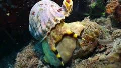 Triton trumpet snail