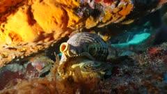 Triton trumpet sea snail