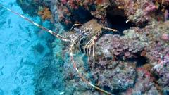 Mediterranean lobster