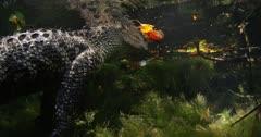 swim along side alligator fall colors
