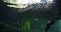 alligator swims to lilly pad