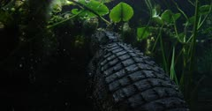 alligator crawls on bottom surfaces