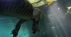 alligator floats on surface