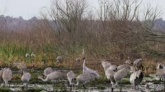 Greater Sandhill Cranes foraging and feeding at Alachua Sink