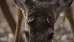 Close up on bloody head of White-tailed Deer buck with recently dropped antlers feeding in a forest