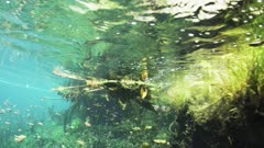 An American Alligator Swims In A Fresh Water Cenote Know As