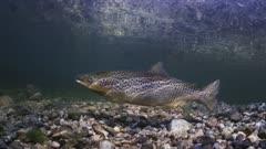 Landlocked Atlantic Salmon in a Fresh Water stream in Maine