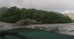 Komodo Dragon swimming / underwater off the coast of Rinca Island, Komodo National Park
