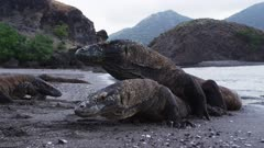 Komodo Dragons Mating on a beach at Rinca Island, Komodo National Park