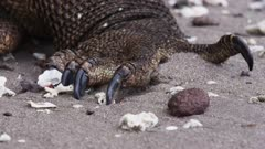 Komodo Dragons on a beach at Rinca Island, Komodo National Park