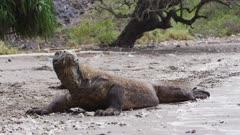 Komodo Dragons on a beach at Rinca Island, Komodo National Park