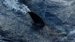 Great White  Shark attacks bait on the surface