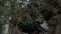 Wild Turkey Males in the wild