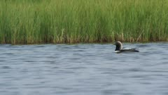 Black-Throated Loon mother and Chicks rest in a small pond