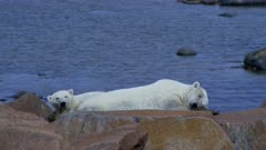 Polar Bear Mother and Cub Sleep away the summer months