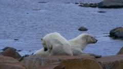 Polar Bear Mother and Cub Sleep away the summer months