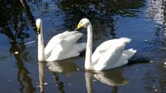 pair of whooper swan on lake, 4k