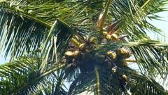 coconuts on palm closeup