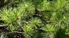 Siberian cedar branch closeup, 4k