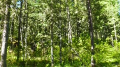forest landscape, russian taiga, 4k
