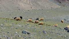 flock of sheep on mountain pasture, 4k