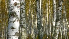autumn birch forest, 4k