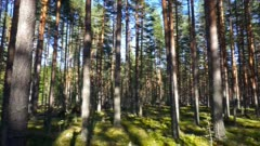 landscape with shadows of trees in the north forest, Karelia, pan view