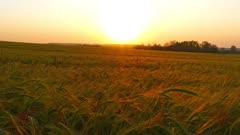 field of ripe wheat, slider dolly shot, 4k