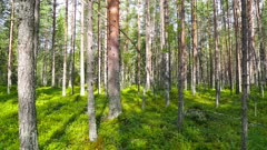 landscape with shadows of trees in the north forest, Karelia