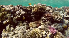 Fish swim among corals in the Red Sea - Egypt