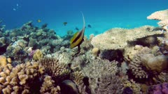 Pennant coralfish (Heniochus acuminatus) or bannerfish in the Red Sea - Egypt