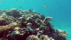Many fish swim among corals in the Red Sea - Egypt