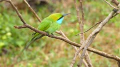 Green Bee-eater (Merops orientalis) bird on branch in Sri Lanka 4k