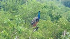 peacock sitting on branch in Sri Lanka 4k