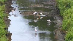 Painted Stork (Mycteria leucocephala) birds hunting in lake - Sri Lanka 4k