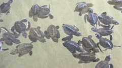 Baby turtles swimming in Turtle Hatchery - Sri Lanka