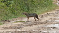 wild jackal howls standing on the road