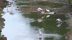 Painted Stork (Mycteria leucocephala) birds hunting in lake - Sri Lanka